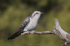 Pallid Cuckoo (chrissteeles) Tags: pallidcuckoo cuckoo bird birding owen southaustralia sa adelaideplains