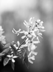 Serviceberry Flowers - 120mm Macro Lens (holtelars) Tags: pentax 645 pentax645 645n 6x45 smcpentaxa 120mm f40 macro 120 film 120film ilford ilfordfp4 fp4plus 125iso mediumformat analog analogue blackandwhite classicblackwhite bw monochrome filmforever ishootfilm filmphotography xtol jobo autolab atl1500 homeprocessing larsholte denmark danmark closeup dof