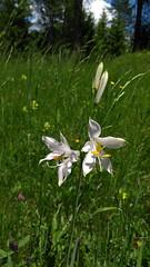 St. Bruno's Lily (aniko e) Tags: paradiesea paradisealiliastrum lily stbrunoslily trichterlilie weisetrichterlilie tölcsérliliom alpesitölcsérliliom trudnerhorn naturereserve nature white flower wild asparagaceae südtirol altoadige italien italy
