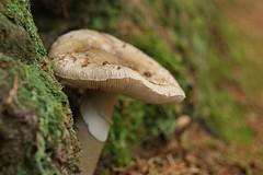 Toadstool, Mullbui (lindawood2414) Tags: toadstool dof