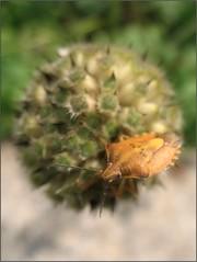 Would You Like a Kiss?;-) (Tölgyesi Kata) Tags: nemzetibotanikuskert vácrátótibotanikuskert botanikuskert botanicalgarden növényrendszertanigyűjtemény withcanonpowershota620 systematicalcollection phylogeneticplantcollection animal rovar insect poloska vácrátót nyár summer shieldbug carpocorispudicus közönségesgyümölcspoloska