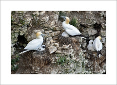 Gannet nesting (prendergasttony) Tags: bassanus morus gannet flight cliff bempton rspb bird avian pov dof nikon d7200 wings birdwatching outdoor nature wild roosting nesting yorkshire england young fledging feet webbed nest ledge elements sea seabird chick july summer photoshop coast photoborder