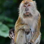 Mother Monkey with her Baby thumbnail