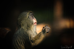 Simian Prayer (Simmie | Reagor - Simmulated.com) Tags: 2017 animals connecticut connecticutphotographer june landscape landscapephotography massachusetts nature naturephotography newengland newenglandcapecod outdoors southwickzoo unitedstates zoo ctvisit digital https500pxcomsreagor httpswwwinstagramcomsimmulated wwwsimmulatedcom