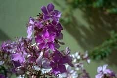 Jataí, Goiás, Brasil (Proflázaro) Tags: brasil goiás jataí cidade jardim flores natureza ecologia cerrado macro