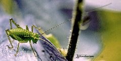 Speckled Bush Cricket (haidarism (Ahmed Alhaidari)) Tags: speckledbushcricket bush cricket animal insect bug natue outdoor green bokeh macro macrophotography sonya65 sigma105mm closeup ngc