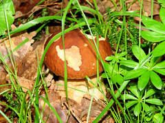 Bolet cèpe (Jean-Daniel David) Tags: champignon bolet cèpe nature forêt brun vert closeup fungus pilz mushroom