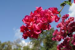 Flower (1) : Red Bougainvillea (Franck Zumella) Tags: flower fleur rouge red bleu blue nature tree arbre italy bougainvillea