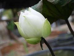 Nelumbo nucifera 'Sullivan' Thailand 008 (Klong15 Waterlily) Tags: nelumbonucifera