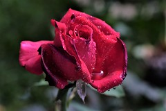 Me apasionan las rosas.. (ameliapardo) Tags: rosas rojo pasion gotas rocio lluvia petalos macro naturaleza airelibre andalucia sevilla fujixt1