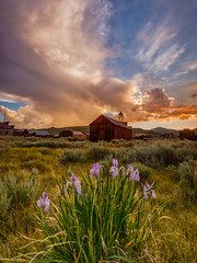 Iris at Sunset in Bodie (Jeffrey Sullivan) Tags: sunset bodie state historic park night photography workshop eastern sierra bridgeport california usa nature landscape canon 5dmarkiii photo copyright 2013 june jeffsullivan hdr photomatix wild iris wildflowers vertical