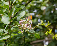 In the hedgerow - gatekeeper (flowjo9999) Tags: insects macroflowers