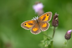 Gatekeeper (Pyronia tithonus) (R.Miller1979) Tags: gatekeeper pyronia tithonus lepidoptera butterfly butterflies grassland green meadow bokeh wildlife wildflower wildflowers wild insect invertebrates invertebrate insects south yorkshire rotherham lindrick common nature