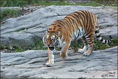 Bad-tempered Amur tigress Elena (Fisherman01) Tags: weiblich amurtiger elena zoozürich 1tier fullbody