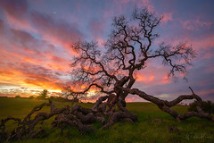Life's Embrace (Willie Huang Photo) Tags: oak tree sunset landscape nature hills california life green spring winter oaktree scenic bayarea