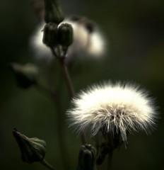 Shining Softness (barbara_donders) Tags: flower bloem nature natuur green groen steel wit white prachtig mooi beauty beautifull magical licht verlicht zacht fluffy bloemknoppen flowerheads