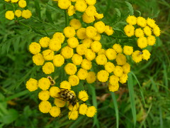 Tansy (Tanacetum vulgare) (Sasho Popov) Tags: plant flower tansy nature