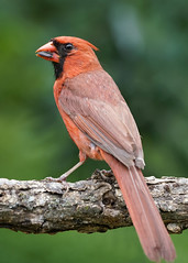 _A991104 (mbisgrove) Tags: bird a99m2 cardinal wings red a99ii sal70400g2 sony