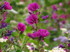 IMG_9206 (germancute) Tags: wildflower nature outdoor blume flower summer sommer wiese ngc