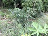 Fast Growing Giant Bamboo and Papaya at PermaTree (yago1.com) Tags: permatree ecuador tropical tropicalpermaculture amazonico oriente permaculture organic