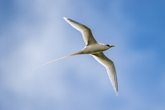 White-tailed Tropicbird (zeroskilz) Tags: bird nature wildlife soar seabird glide inflight flight bif waterbird whitetailed tropicbird hawaii mike timmmons