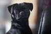 Kida (Aidan Jones Photography) Tags: dog pug black animal pet canine canon 5d 85mm 12 12l 85mm12l