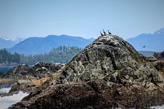 Three Amigos (Jessie T*) Tags: brokengroupislands barkleysound pacificrimnationalpark canada uclueletbc vancouverisland cormorants islet mountains cans2s