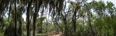 Spanish Moss (jciv) Tags: forest trees moss file:name=dsc00217pano spanishmoss savesantaana noborderwall