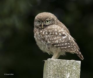 Little Owlet_MG_4186