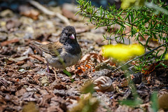 Dark-eyed Junco Male (halladaybill) Tags: backyard coronadelmar darkeyedjunco newportbeach california unitedstates us