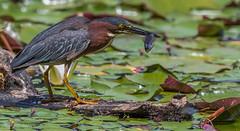 Green Heron (bbatley) Tags: