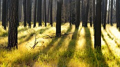 3 years after wild fire...green grass, flowers and black trees (photosweden) Tags: yosemite california nature trees light sunrise wildfire fire mariposa