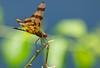 Stainglass Wings! (ineedathis, Everyday I get up, it's a great day!) Tags: halloweenpennant dragonfly odonata celithemisbertha celithemiseponina celithemis libellulidae anisoptera οδοντογναθα ανισοπτερα λιβελλουλη αεροπλανακι nature summer nikond750 stick bokeh insect