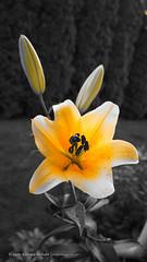 DSC01062 (Aldona Induła) Tags: sony a6000 bezedycji flower garden kwiat notedited ogród prostozaparatu straightfromthecamera