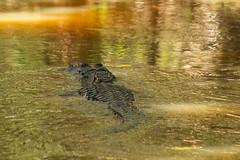 Alligator No. 1 (Mike Sirotin) Tags: fla fl water everglades animal reptile evergladesnationalpark alligator florida