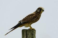 _DSC7880 - Kestrel (steve R J) Tags: kestrel blue house farm north fambridge essex ewt reserve birds british