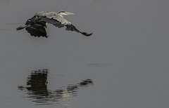 2017SM010 (barkingspider01) Tags: low flying heron