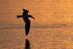 Black Skimmer Silhouette Sunset (dbadair) Tags: flight birds shore nature wildlife ft desoto st pete water gulf 7dm2 canon sun sunset dusk evening twilight