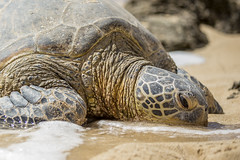 Sea turtle chilling on the beach (dr_stan3) Tags: sea turtle beach sand oahu hawaii wildlife canon