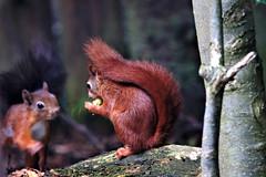 My first red squirrel (crafty1tutu (Ann)) Tags: travel holiday 2017 unitedkingdom uk england animal squirrel redsquirrel pensthorpenaturereserve fakenham norfolk crafty1tutu canon7dmkii ef100400mmf4556lisiiusm anncameron naturethroughthelens