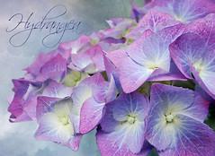Blue and Pink and Mauve! (Jean Turner Cain) Tags: flower flora flowers floral fleur flor texture textured textures photoshop adobe hydrangea blue pink mauve art