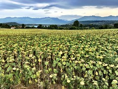 Sunflowers Field (Fabrizio Malisan Photography @fabulouSport) Tags: iphone7 iphoneography iphone touring tours tour tourisme tourism travel campagne campagna countryside country italian italien italie piedmont piemonte italy viverone flores blumen fiori flowers fleurs paysages paysage paesaggio paesaggi landscapes landschaften landschaft landscape natur natura naturaleza nature field sunflowers girasoli tournesols