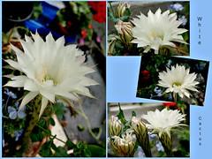 44/52 White Cactus  ...... Explored No 186 (Martina Morris ( Ireland) Thanks for your visit) Tags: white cactus flower flowerscloseup macro garden greenhouse nature boylecameraclub boyle coroscommon ireland martinamorris images