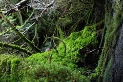 spore (allibrunner) Tags: mushroom moss plants bryophytes fungus green nature outdoors ground hiking adirondacks 46er