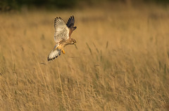 Kestrel Diving For His Dinner (hharry884) Tags: nature wildlife outdoors photography wiltshire swindon birds bird brown wild flight