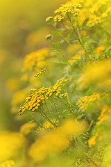 tansy (leavesnbloom photography by Rosie Nixon) Tags: tanacetumvulgare tansy yellow flower native wildflower outdoors rural nature