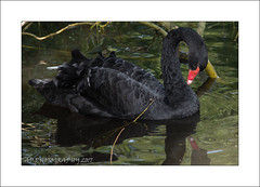 Black Swan Washing (Cygnus atratus) (prendergasttony) Tags: elements outdoors nature rspb bird avian water nikon d7200 sunlight colourful uk britain birding feathers waterproof male wildlife closeup frame wetland droplets martinmere reflection freshwater lancashire framing beak digital counrtyside red feet park swan black cygnus atratus washing wwt ƒ48 1500mm 1800 iso400 photoborder