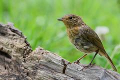 Juvenile Robin (parry101) Tags: south wales southwales nature geraint parry geraintparry wildlife cardiff forestfarm forest farm close closeup sigma sigma150600 150600 150600mm d500 nikond500 juvenile robin robins bird birds