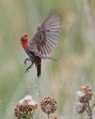 Take-off (dcstep) Tags: aurora colorado unitedstates us cherrycreekstatepark finch bird canon5dmkiv ef500mmf4lisii allrightsreserved copyright2017davidcstephens dxoopticspro114 n7a8451dxo housefinch male red bif birdinflight flying flight