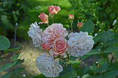 2017.06.16.006 JOSSELIN - Parc du château (alainmichot93 (Bonjour à tous - Hello everyone)) Tags: 2017 france bretagne morbihan josselin château castle jardin roseraie fleur rose arbre tree